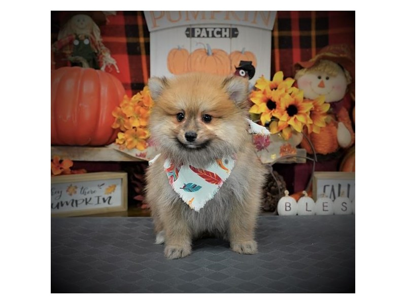 Pomeranian-Male-Orange Sable-2903771-My Next Puppy