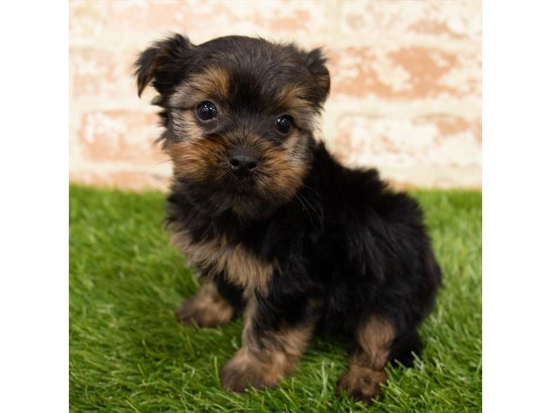 Yorkshire Terrier-Male-Black / Tan-2903814-My Next Puppy