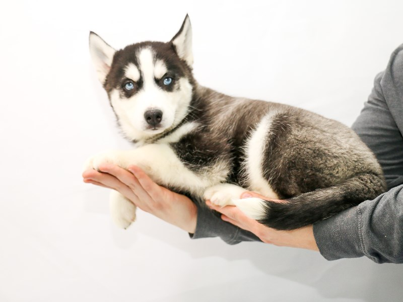 Siberian Husky-Male-Black and White-2906761-My Next Puppy