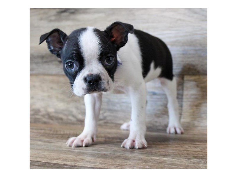 Boston Terrier-Female-Black / White-2913518-My Next Puppy