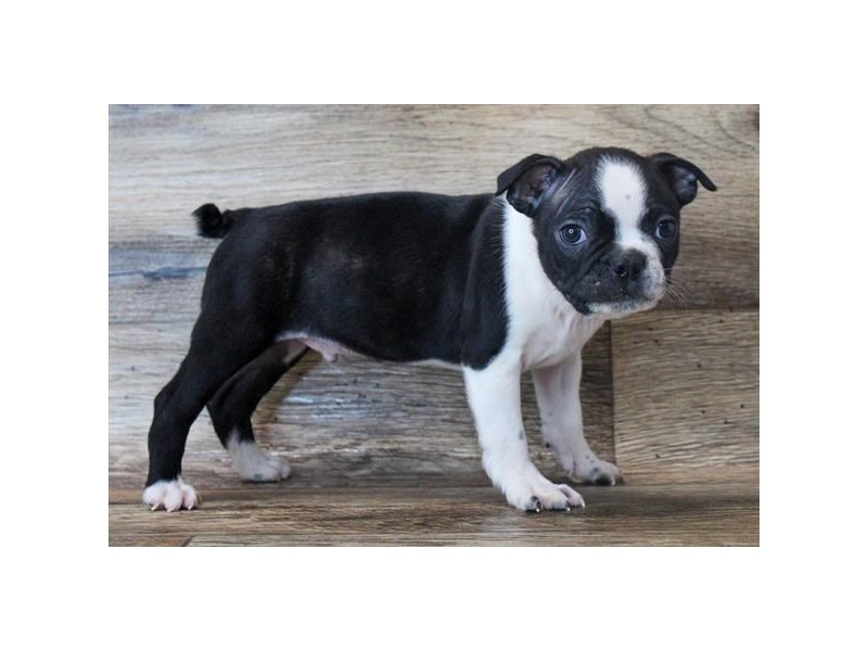 Boston Terrier-Male-Black / White-2913519-My Next Puppy