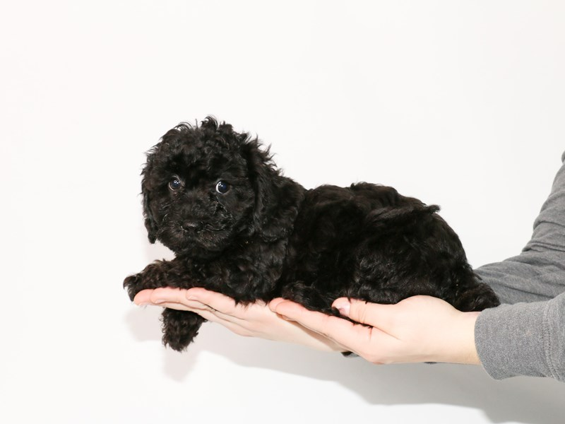Havapoo-Male--2913362-My Next Puppy