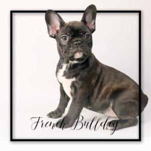 Popular Dog Breeds - My Next Puppy