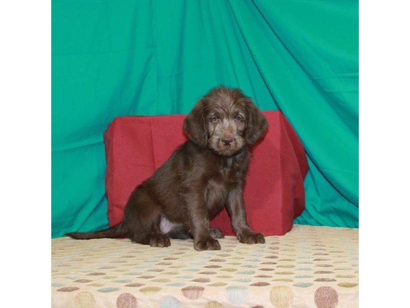 Labradoodle-Female-Chocolate-2862103-My Next Puppy