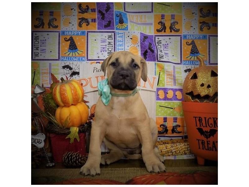 Bullmastiff-Female-Fawn-2862108-My Next Puppy