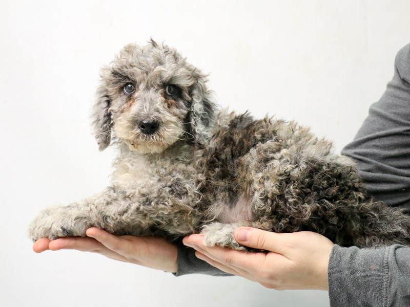 Poodle-Male-Blue Merle-2875919-My Next Puppy