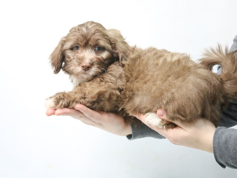 Teddy Bear-Male-CHOC WHITE-2868546-My Next Puppy