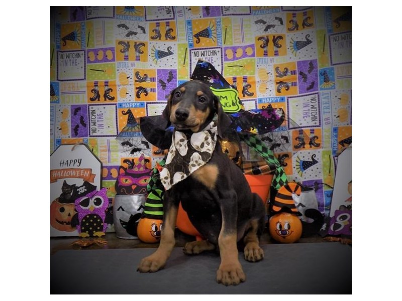 Doberman Pinscher-Male-Black / Rust-2885088-My Next Puppy