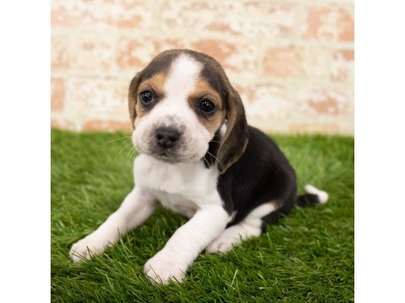 Beagle-Male-Black White / Tan-2896892-My Next Puppy