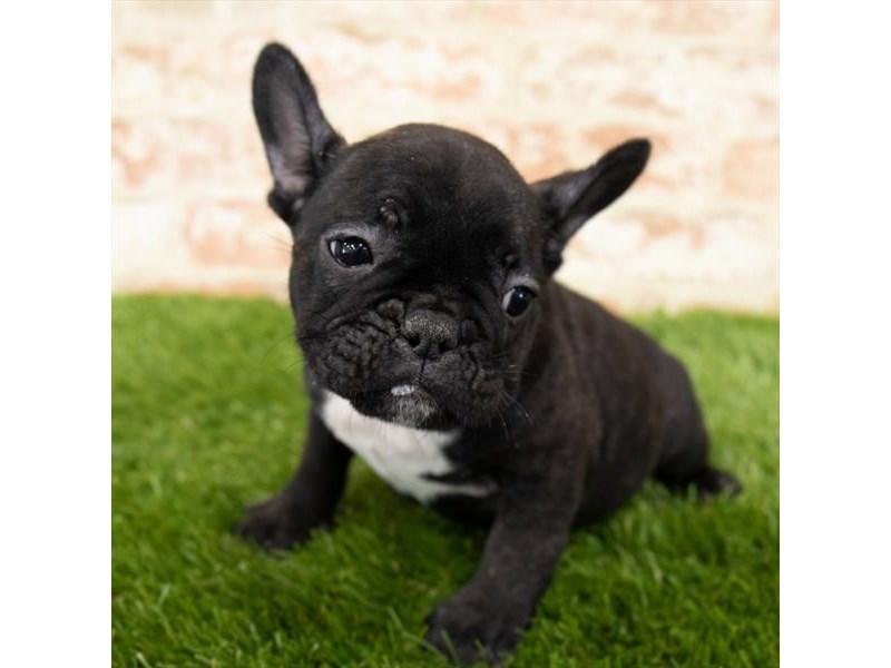 French Bulldog – Kaboom