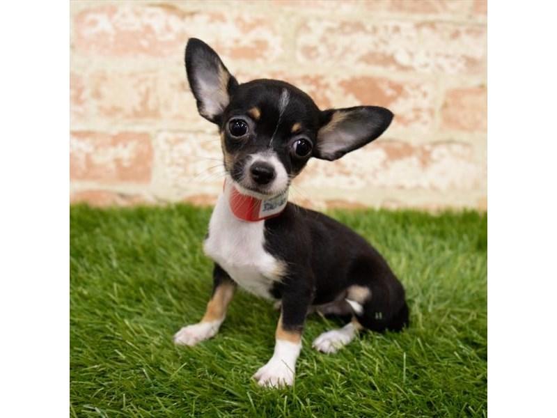 Chihuahua – Snuggle