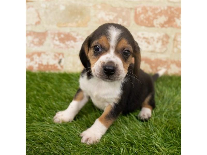 Beagle – Hunlen