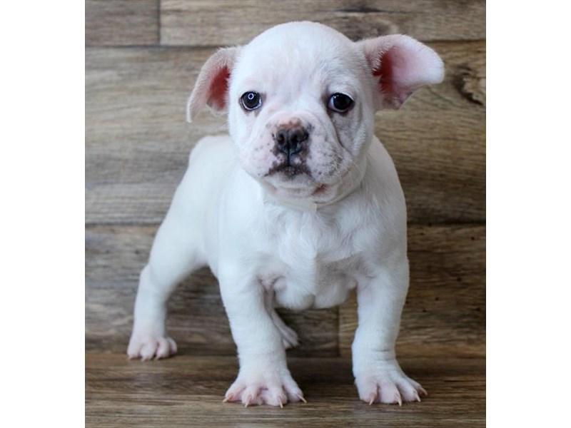 French Bulldog – Kagera