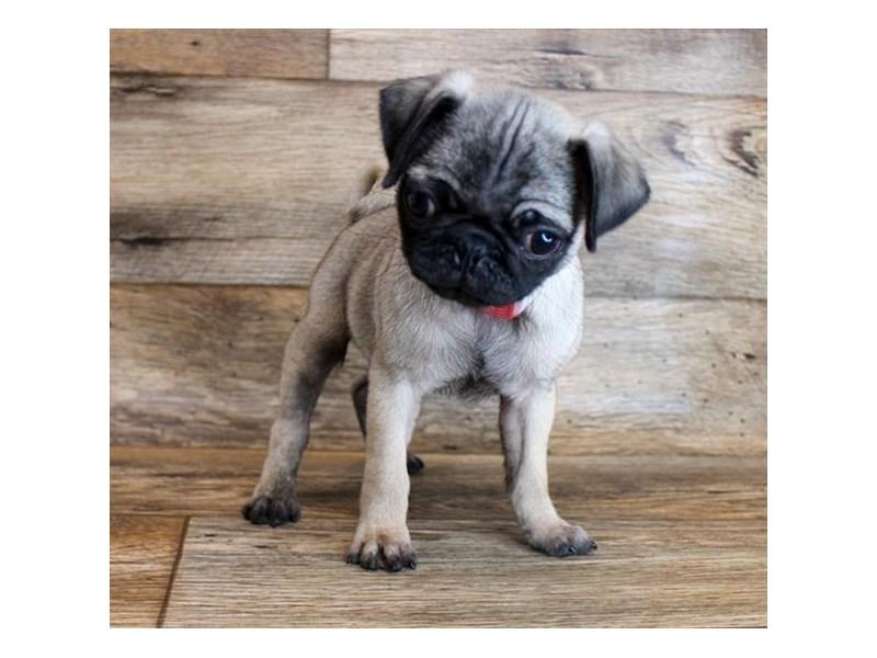 Pug-Female-Fawn-2913520-My Next Puppy