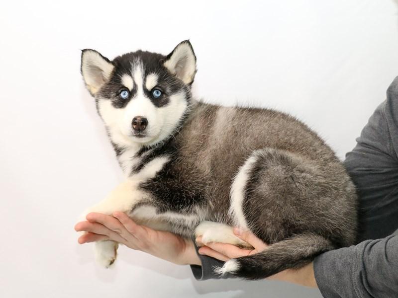Siberian Husky – Lisbon