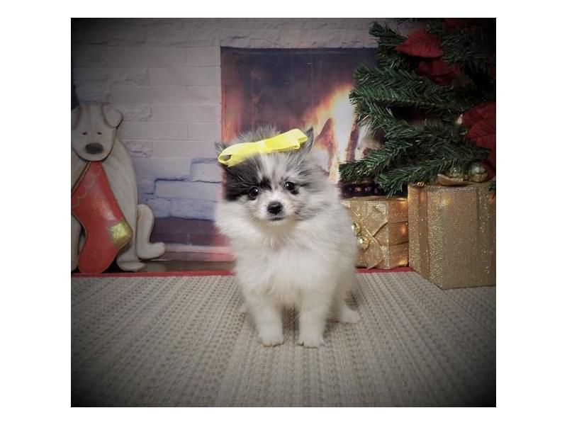 Pomeranian – Gingerbread