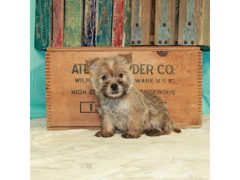 Cairn Terrier-Female-Wheaten-2918602-My Next Puppy