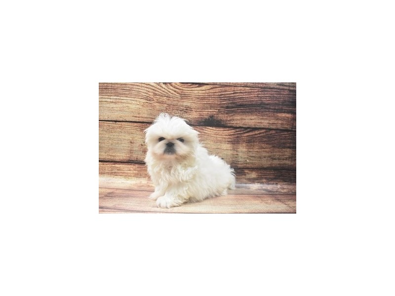 Pekingese-Male-Cream-2918937-My Next Puppy