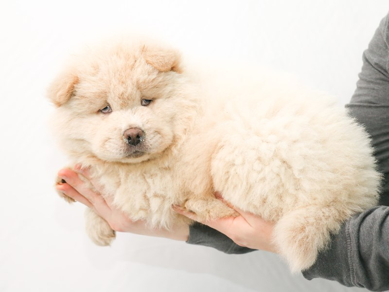 Chow Chow-Male-Cream-2921320-My Next Puppy