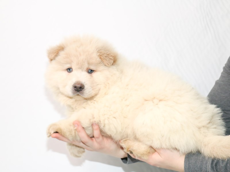 Chow Chow-Female-Cream-2921312-My Next Puppy