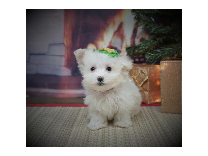 Maltese-Female-White-2925763-My Next Puppy