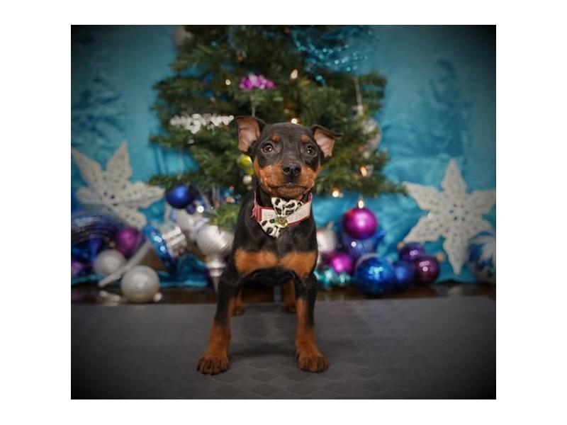 Miniature Pinscher-Female-Black / Rust-2925772-My Next Puppy