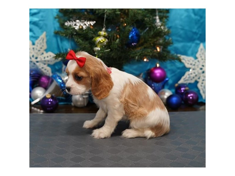 Cockalier-Female-Blenheim-2925774-My Next Puppy
