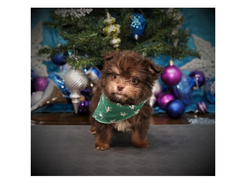 Pomeranian/Havanese-Male-Chocolate / Tan-2925793-My Next Puppy