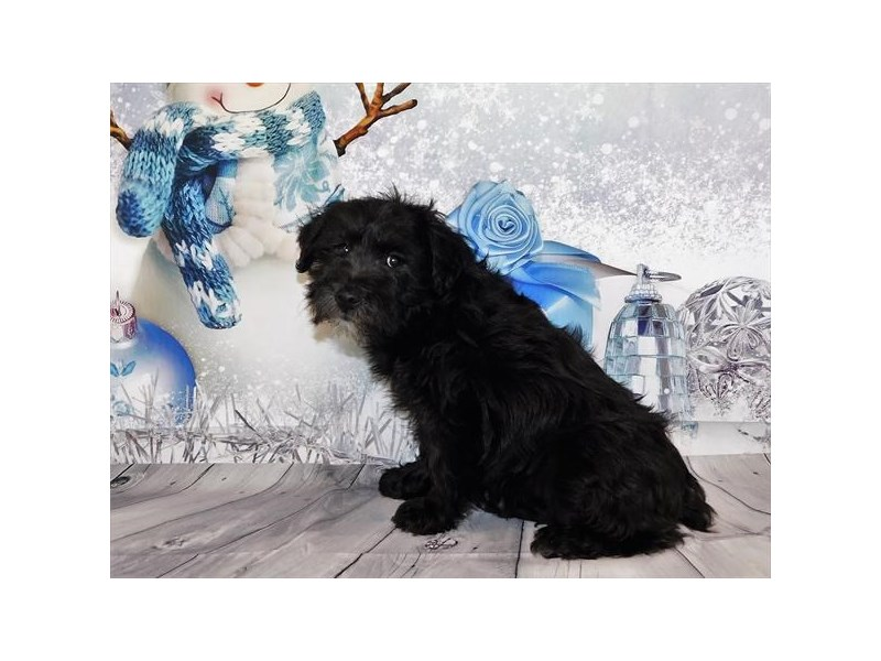 Poodle/Miniature Schnauzer – Max
