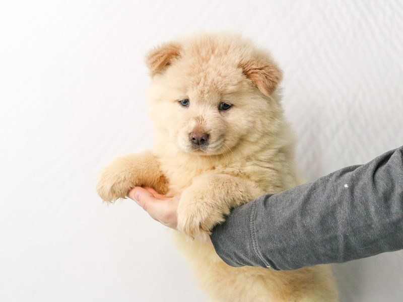 Chow Chow-Female--2928745-My Next Puppy