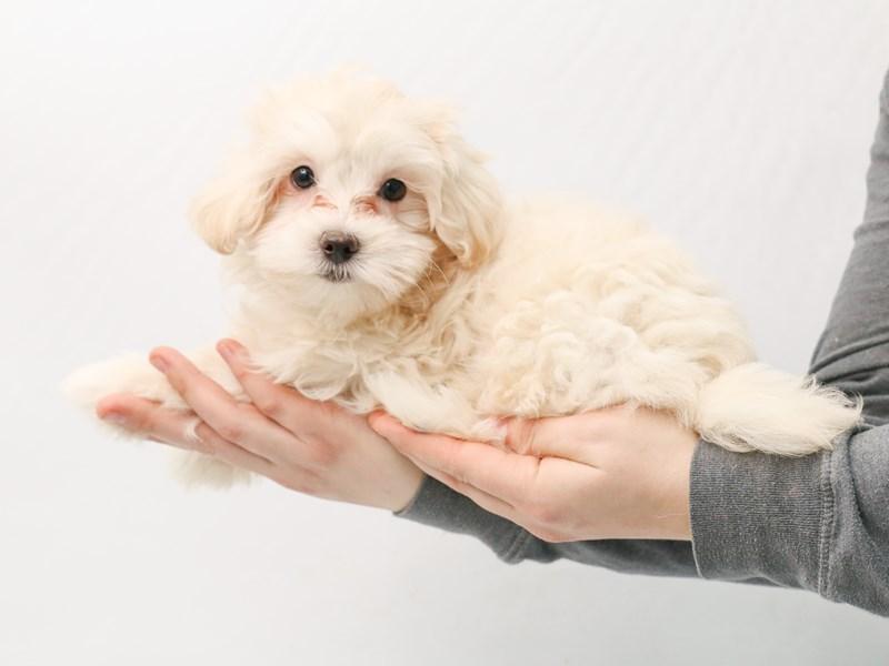 Coton De Tulear / Poodle – Doris