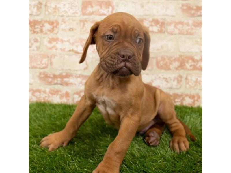 Dogue De Bordeaux-Male-Red-2932147-My Next Puppy