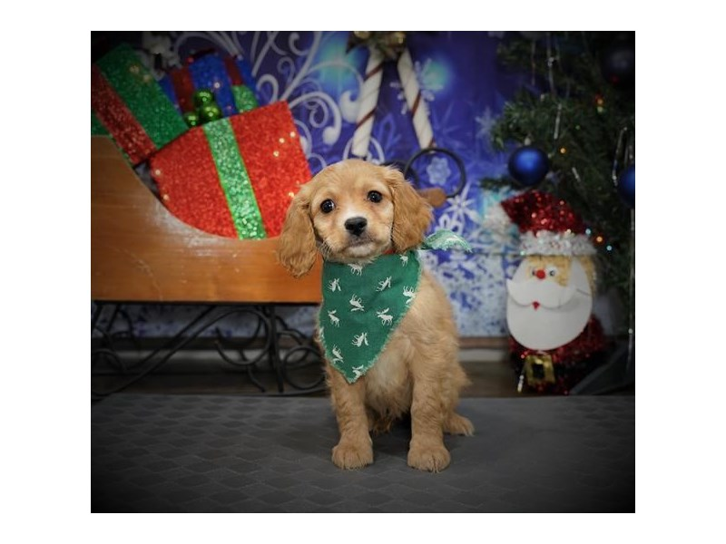 Cavachon-Male-Apricot-2932155-My Next Puppy