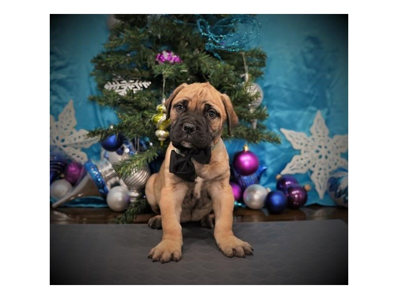 Bullmastiff-Female-Fawn-2932158-My Next Puppy