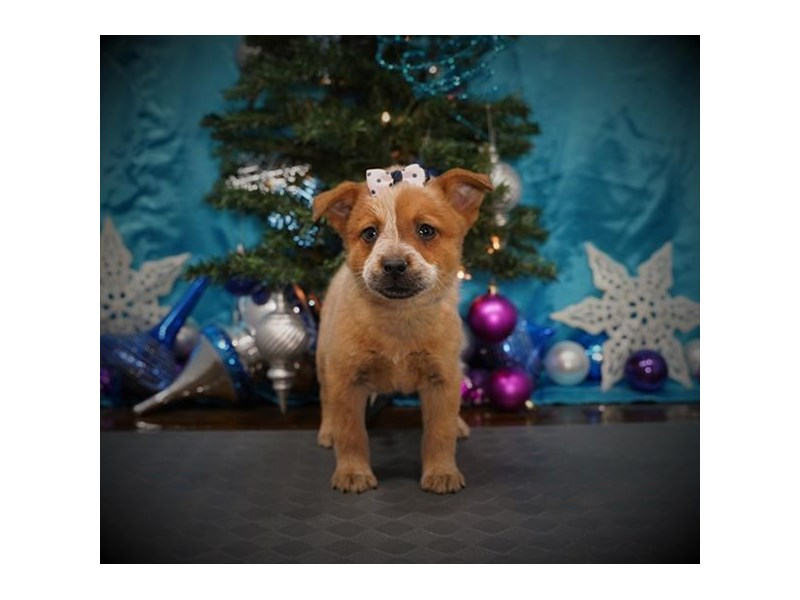 Australian Cattle Dog-Female-Red Merle-2932160-My Next Puppy