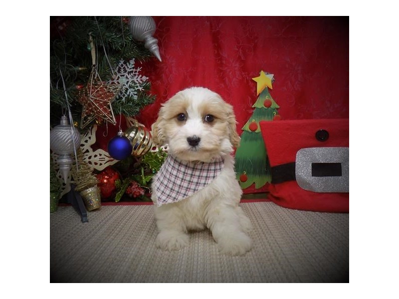 Cavachon-Male-Blenheim-2932164-My Next Puppy