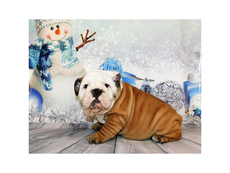 English Bulldog – Mary