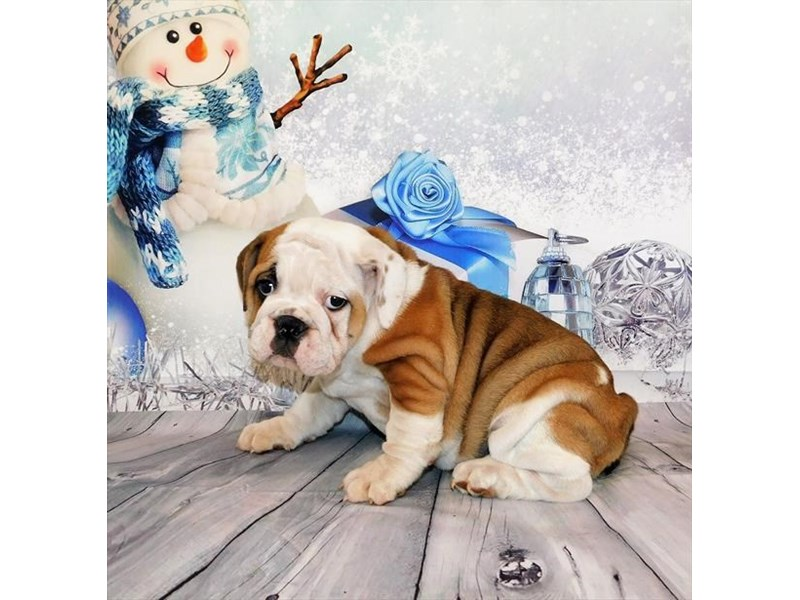 English Bulldog-Female-Red / White-2932663-My Next Puppy