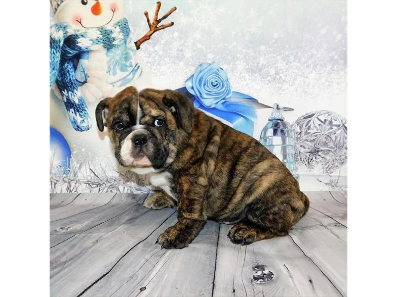 English Bulldog-Male-Brindle-2932664-My Next Puppy