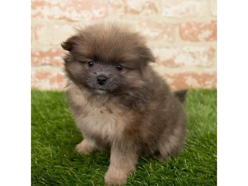 Pomeranian – Pelt