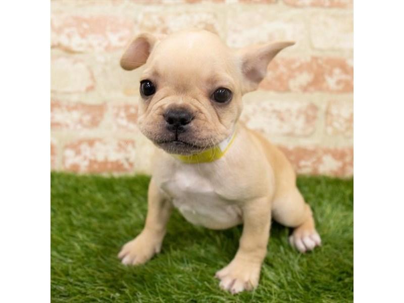 French Bulldog-Female-Cream-2942330-My Next Puppy