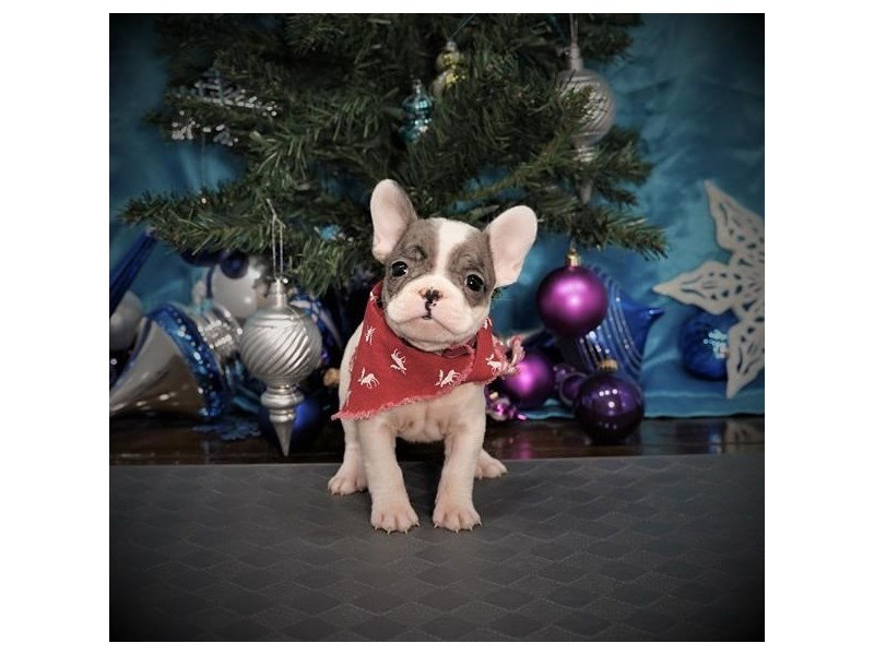 French Bulldog-Male-Blue Merle-2942331-My Next Puppy