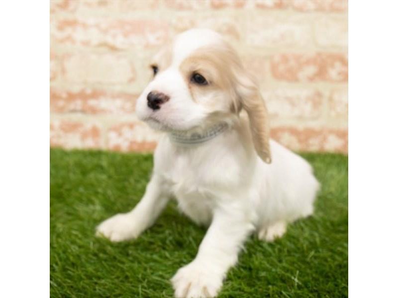 Cocker Spaniel-Male-Buff-2942404-My Next Puppy
