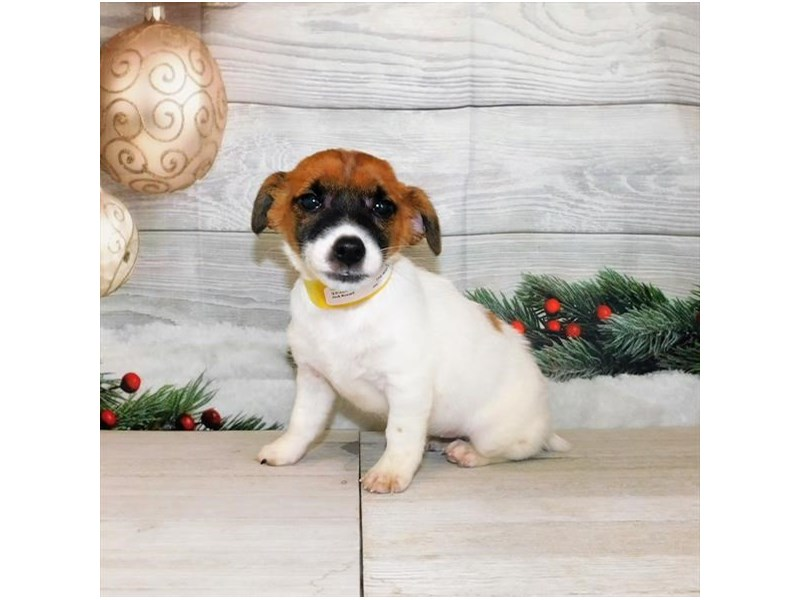 Jack Russell Terrier-Female-Red / White-2942405-My Next Puppy