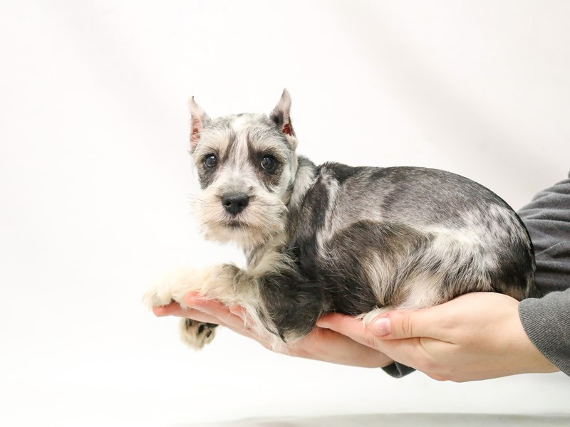 Miniature Schnauzer-Female-BLUE MERLE-2875848-My Next Puppy