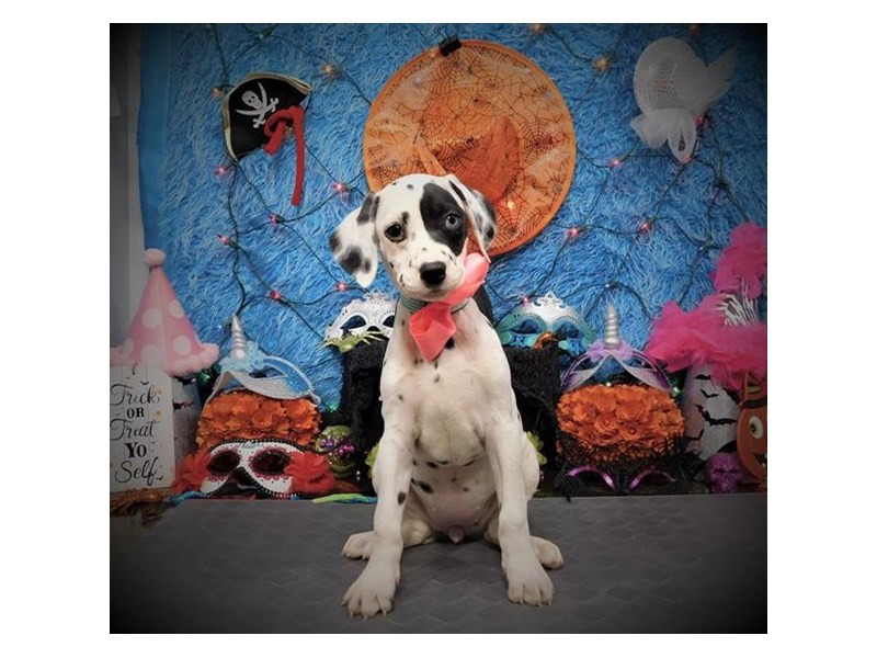 Dalmatian-Female-White / Black-2890015-My Next Puppy