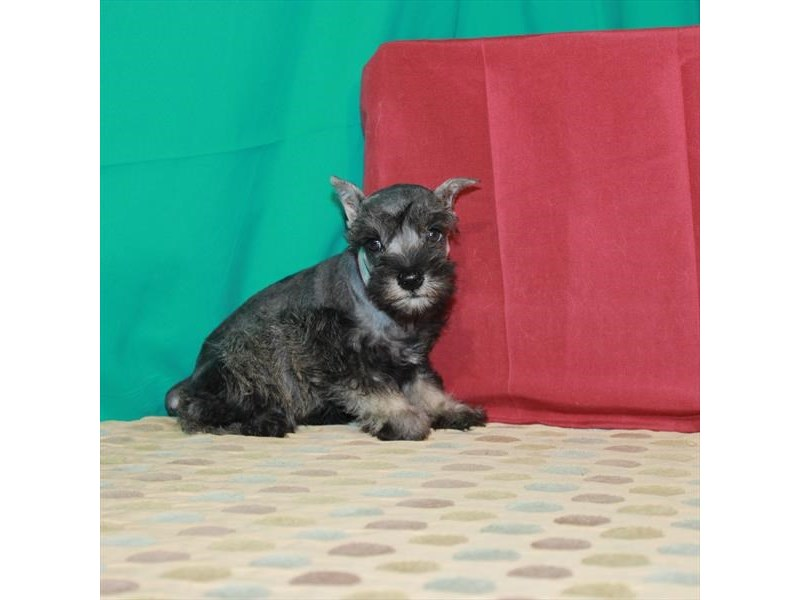 Miniature Schnauzer-Female-Salt / Pepper-2890022-My Next Puppy