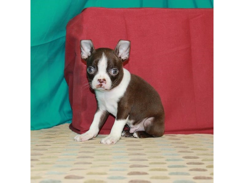 Boston Terrier-Male-Red / White-2903767-My Next Puppy