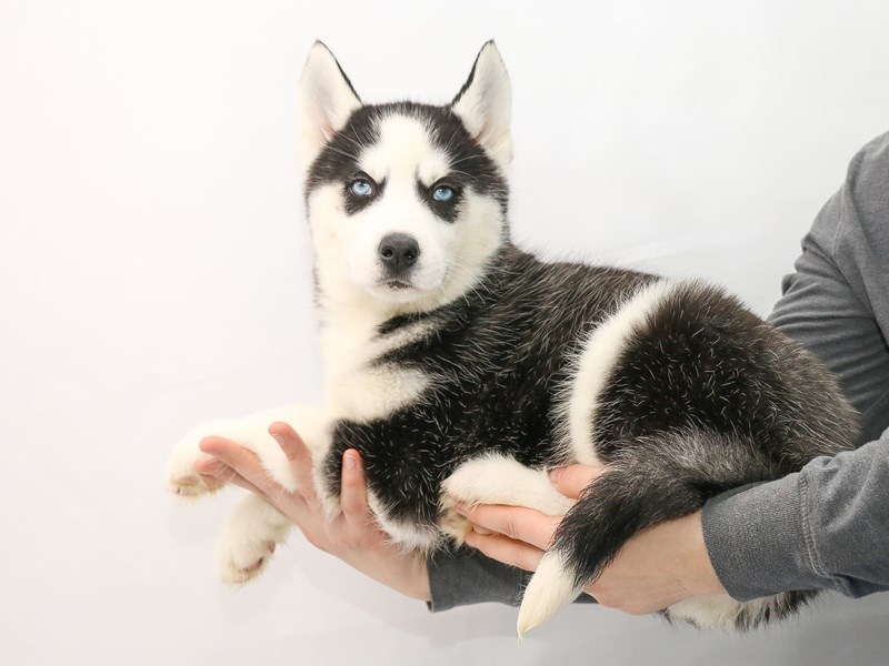 Siberian Husky-Female-Black and White-2906753-My Next Puppy