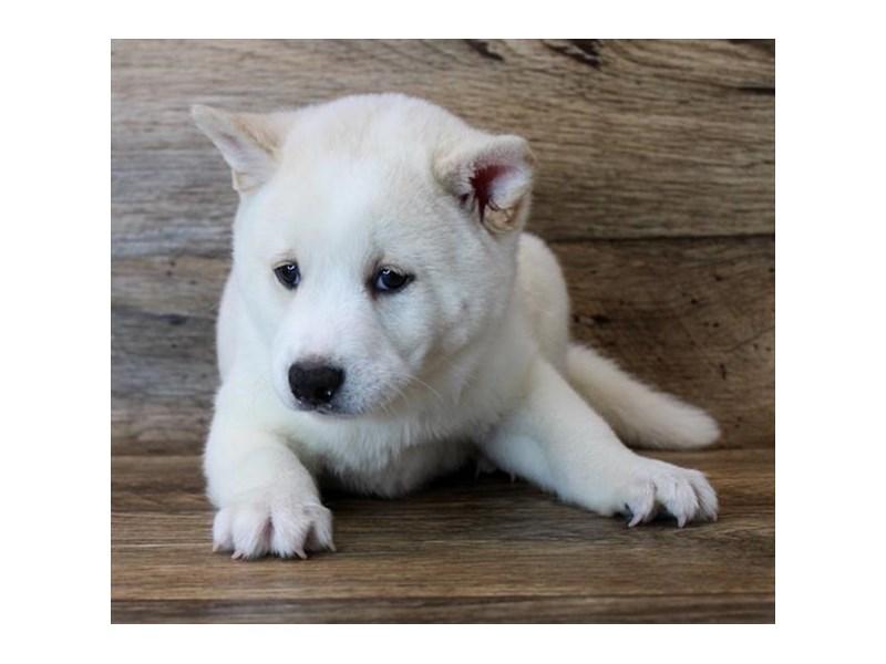 Shiba Inu-Male-Cream-2913515-My Next Puppy